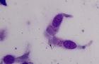 <i>Mycoplasma</i> (bovine)