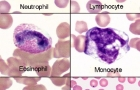 Feline blood cells
