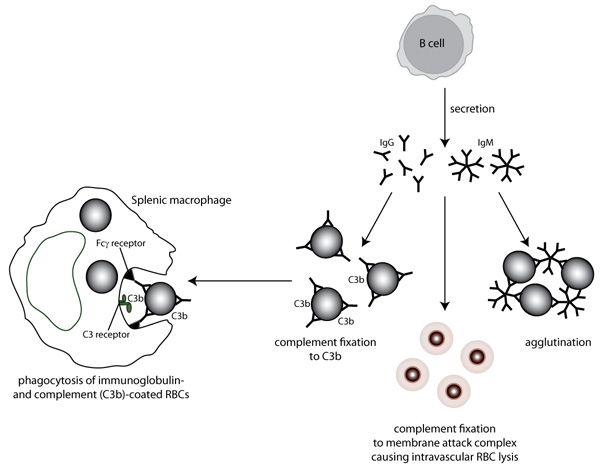 Red Blood Cell Destruction In Immune Mediated Hemolytic Anemia