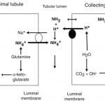 Renal acid excretion