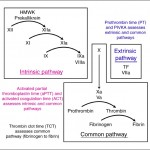 Coagulation assays evaluate the extrinsic, intrinsic and common pathways