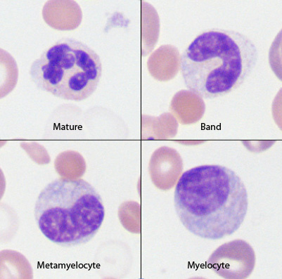 red blood cells immature and mature